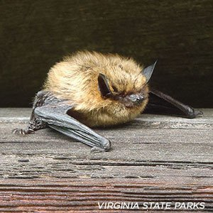 Local bats need your help